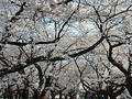 Free Cherry Blossom Ceiling Royalty Free Stock Photo - 1175
