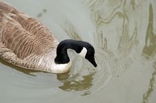 Free Floating Goose Royalty Free Stock Photography - 2327