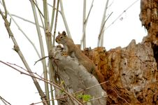 Free Pine Squirrell Royalty Free Stock Image - 2336