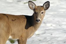Free Doe In Metroparks Royalty Free Stock Photos - 2398