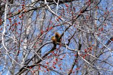 Free Red Squirrell Royalty Free Stock Photos - 2448