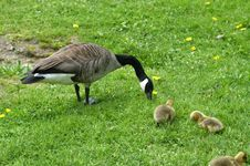 Free Goose With Goslings Royalty Free Stock Photography - 3187
