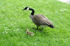 Free Goose With Gosling Stock Photography - 3192