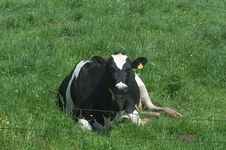 Free Lone Cow Stock Photos - 3453