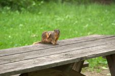 Free Squirrell Scratching Royalty Free Stock Photos - 3758