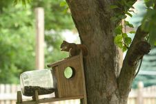 Free Pine Squirrell On Feeder Stock Photos - 4383