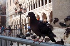 Free Pigeon In San Marco Square Royalty Free Stock Photo - 45
