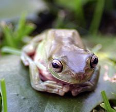 Free Frog Up Close Royalty Free Stock Photography - 4857