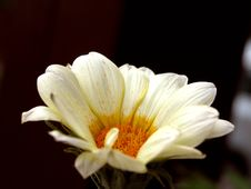 Free Daisy 1 Royalty Free Stock Image - 606