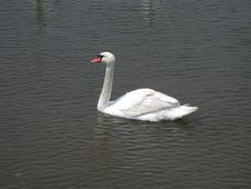 Single Swan Swimming Royalty Free Stock Images