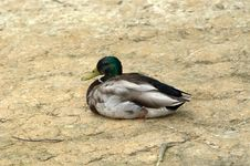 Free Single Mallard Resting Royalty Free Stock Photography - 7277