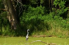 Free Heron On Branch Stock Photos - 8003