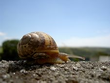 Snail On A Wall Royalty Free Stock Photography