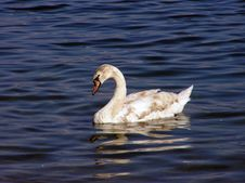 Free White Swan Stock Photos - 8743