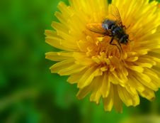 Free Dandelion And Fly Stock Image - 8771