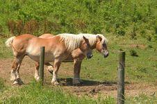 Pair Of Belgian Horses Stock Images