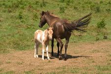 Mare With Colt Royalty Free Stock Image