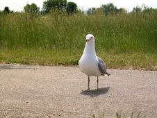 Free Seagull III Stock Photos - 9313