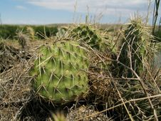 Free Wild Cactus Plants Royalty Free Stock Photos - 9318