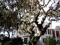 Free Old Oak Tree Royalty Free Stock Photos - 16878