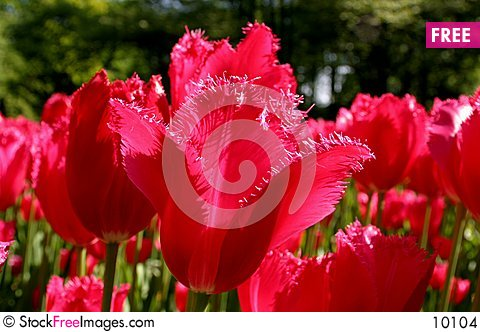 Free Red Tulips Stock Images - 10104