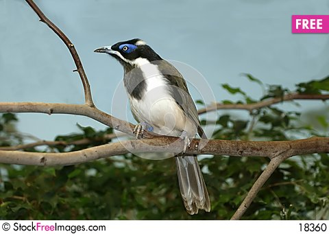 Free Blue-faced Honeyeater Stock Photo - 18360