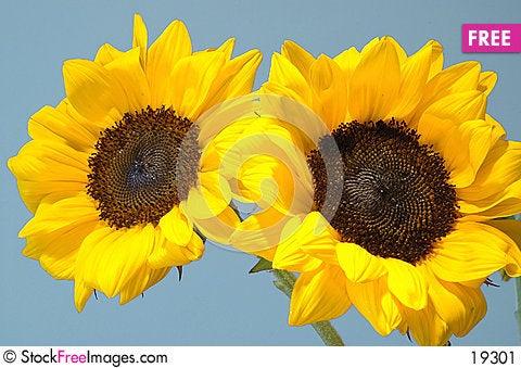 Twin Sunflowers Stock Photo