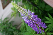 Free Purple Lupin Stock Images - 10044