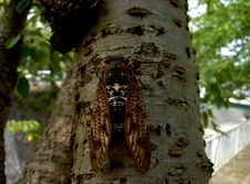 Free Cicada Royalty Free Stock Photo - 10145