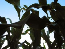 Free From A Corn S Perspective Royalty Free Stock Photos - 10878