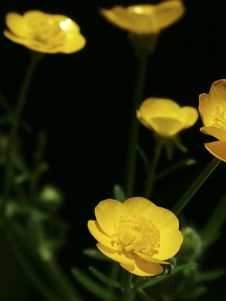 Free Buttercups Stock Photos - 11523