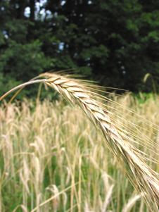Winter Wheat – 1