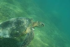 Free Green Sea Turtle Photo Royalty Free Stock Image - 12696