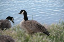 Free Canadian Geese Royalty Free Stock Photography - 12697