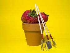 Potted Strawberries 2 Stock Photo