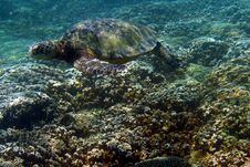 Free Sea Turtle Photo Royalty Free Stock Image - 13316