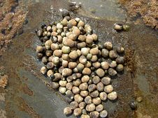 Free Periwinkles Stock Photography - 14212