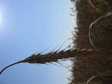 Free Wheat Spike I Stock Image - 14361
