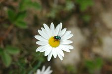 Free Bee With White Flower Royalty Free Stock Photos - 14778