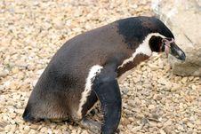 Free Penguin Stock Photos - 15583