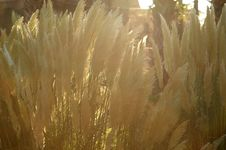 Free Grass Blooms Backlit Stock Images - 15754