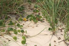 Free Ivy In The Dunes Stock Photography - 16702