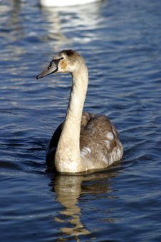 Cygnet Stock Photo