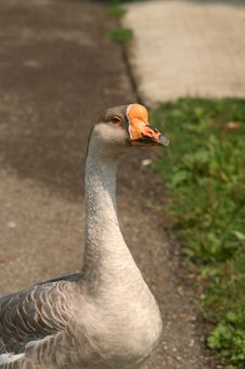 Free Domestic Goose - Gander Stock Image - 17661