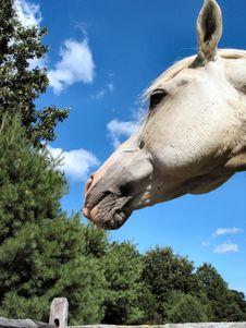 Free Arabian Stallion – 4030 Royalty Free Stock Image - 18156
