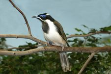 Blue-faced Honeyeater Stock Photo