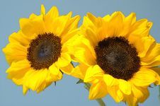 Free Twin Sunflowers Stock Image - 19301