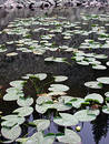 Free Yellowstone Lily Pads Stock Photos - 106623