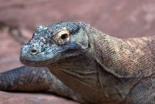 Free Nile Monitor Lizard Stock Images - 100644