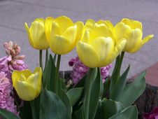 Free Yellow Tulips Royalty Free Stock Photography - 101017